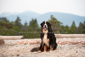 Bernese Mountain Dog sitting with trees and mountains in the background