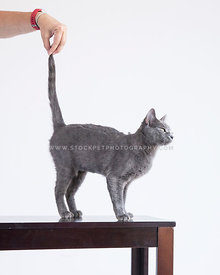 Grey cat on table looking out window with human hand stroking tail