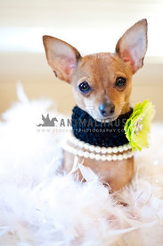 Tiny Chihuahua Dog with flower collar sitting in a bed of white