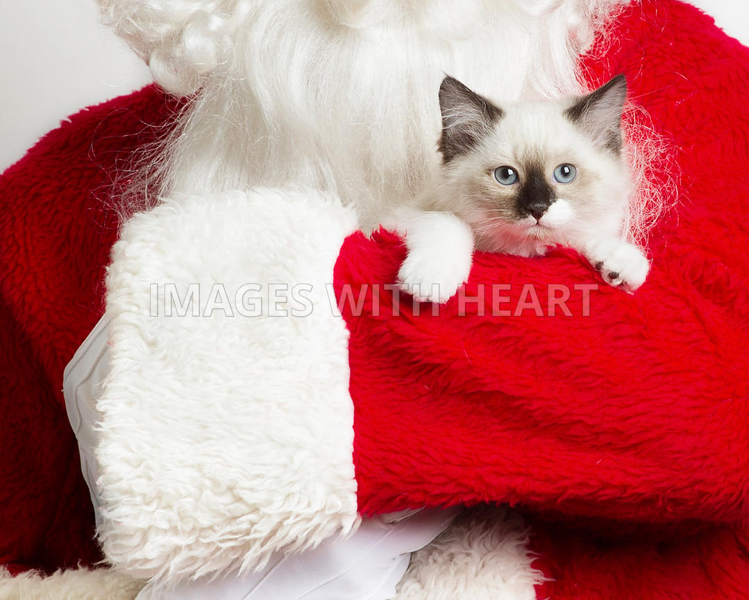 Siamese kitten in santa's arms