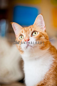 Orange tabby cat looking up
