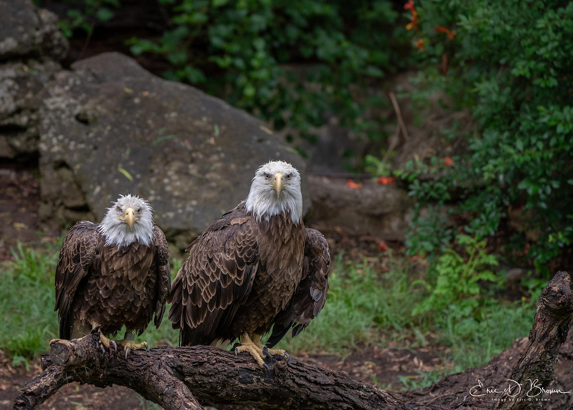 Eagles at Rest