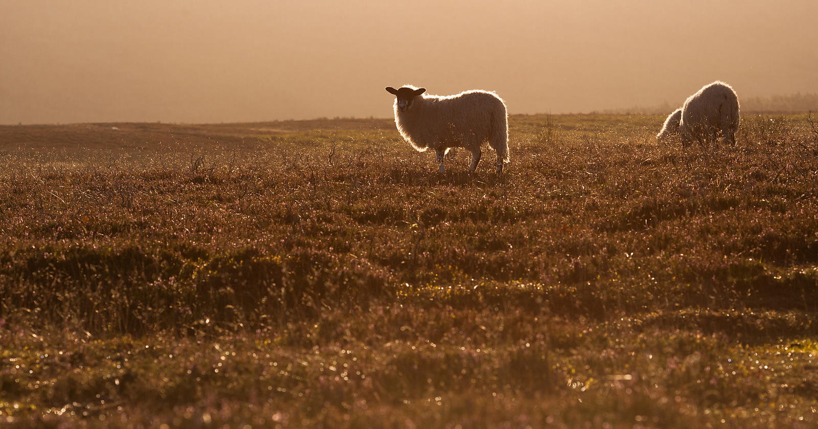Backlit sheep on Bamford Edge