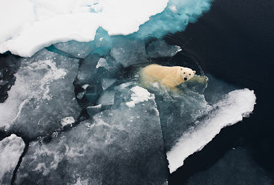 Polar bear (Ursus maritimus) swimming at edge of ice floe, aerial view, Svalbard, Norway, July.
