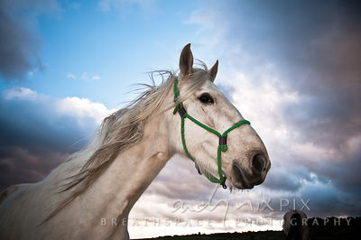 Close-up, side view head and shoulders shot of a white horse wearing a green halter, looking sideways at the camera, blue sky...