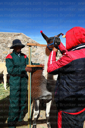 Measuring the height of a llama that has been selected to take part in competition, Curahuara de Carangas, Bolivia