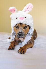 Sable pit bull type dog wearing easter bunny hat