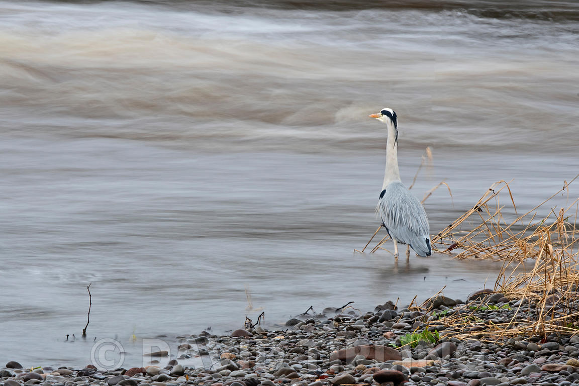 Grey Heron Ardea cinerea fishing on River Nith Dumfries & Galloway Scotland winter