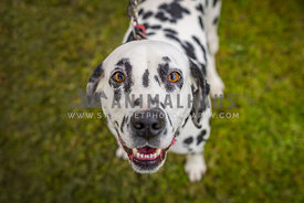 dalmatian looking up