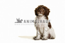 Sproodle puppy in the studio against white background