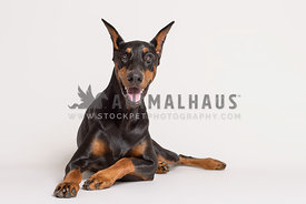 A smiling doberman pinscher laying on a white backgorund