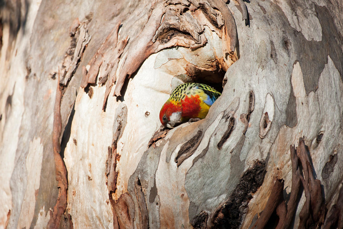 Eastern Rosella emerging from the nest
