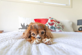 Small dog laying on a bed looking bored