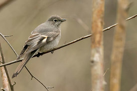 September - Townsend's Solitaire