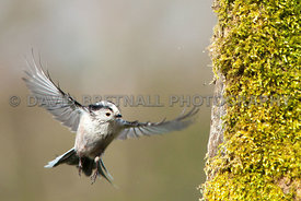 Long Tailed Tit In Flight