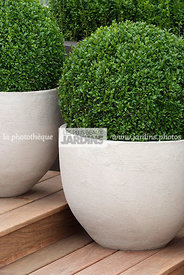 Buxus sempervirens (buis commun), Common box, en pot. Conception : OneAbode Ltd. HCFS, Angleterre
