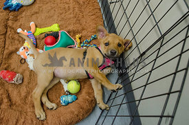 A tired brown puppy lays on her side in her play pen surrounded by toys