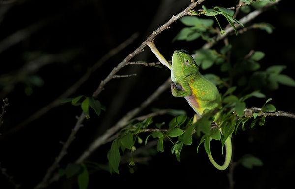 Canopy Chameleon, also known as Will's Chameleon