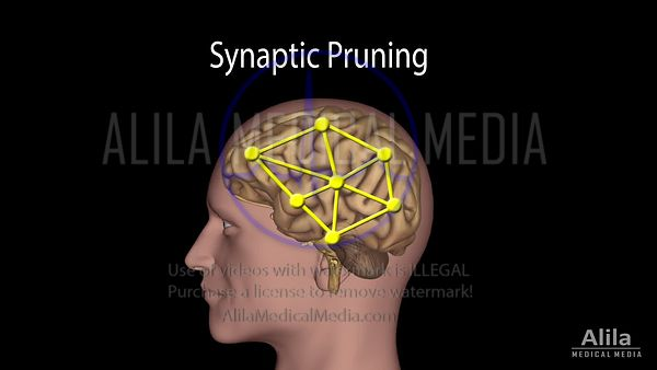 Synaptic pruning NARRATED animation