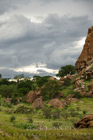 Baobab trees (Adansonia digitata) tower above other bushveld trees below Mapungubwe Hill, with cumulo nimbus storm clouds in ...