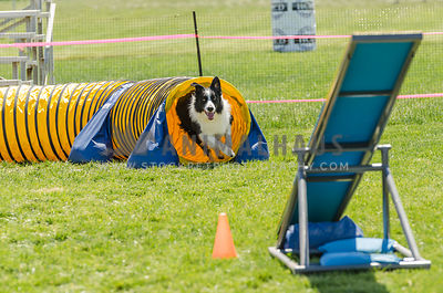 happy black & white border collie running out of tunnel to teeter on grass agility course