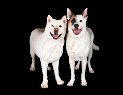 Dogs Standing Together Over Black Background