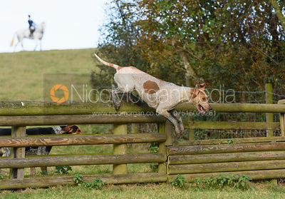 Hound jumping a hunt jump at Burrough House - The Cottesmore at Somerby 5/11