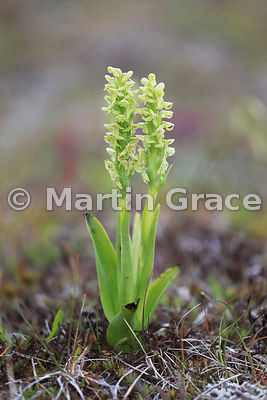 Northern Green Orchid (Platanthera hyperborea), Sudurland (Southern Region), Iceland