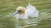 Northern gannet swimming