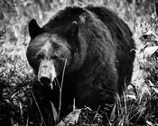 5786-Ours_bruns_du_Yellowstone_Wyoming_2014_Laurent_Baheux