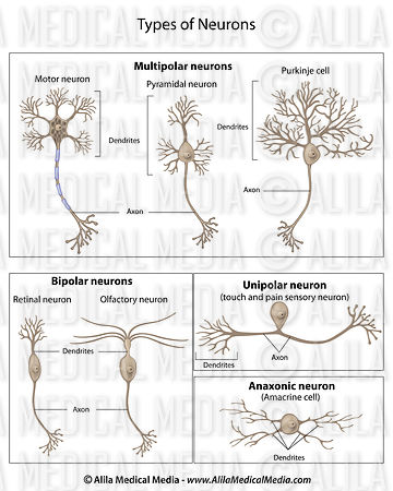 Types of Neurons, labeled.