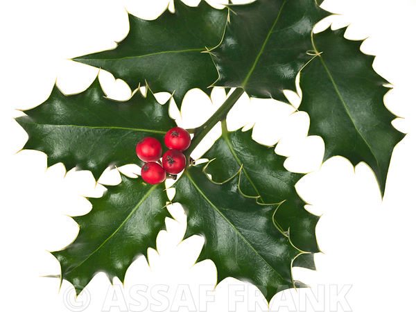 Holly with berries on white background