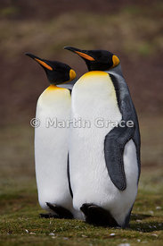 Pair of King Penguins (Aptenodytes patagonicus) standing silently together in identical postures as part of their courtship r...