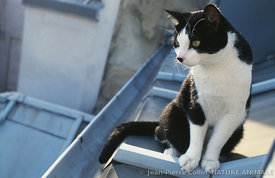 Chat sur un toit en zinc de Paris