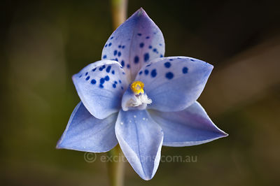 Thelymitra ixioides, Dotted Sun Orchid.