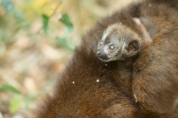 Red Bellied Lemur Baby