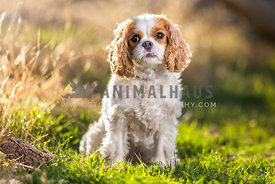 a sweet cavalier frowns in the grass