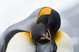 King Penguins Aptenodytes patagonicus Gold Harbour South Georgia