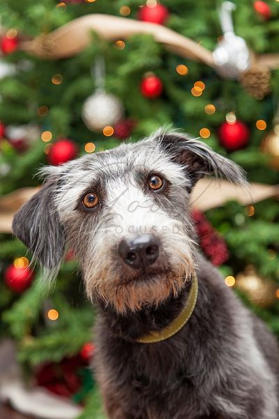 Terrier Dog Near Decorated Christmas Tree