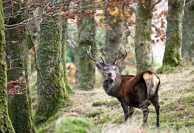 Red deer stag open woodland