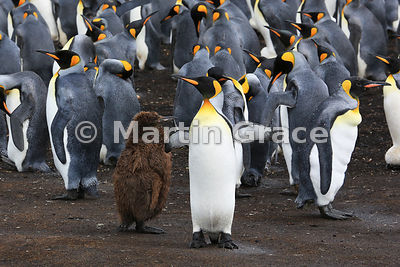 Juvenile King Penguin (Aptenodytes patagonicus) in its brown coat of down, with adult King Penguins in the colony at Voluntee...