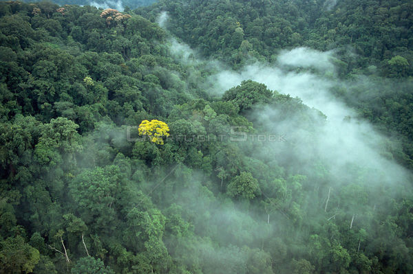 Aerial view of tropical rainforest canopy with mist and yellow flowering tree (Tabebuia sp), Corcovado NP, Costa Rica. Filmed...