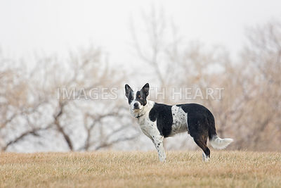 Black and White dog standing in field