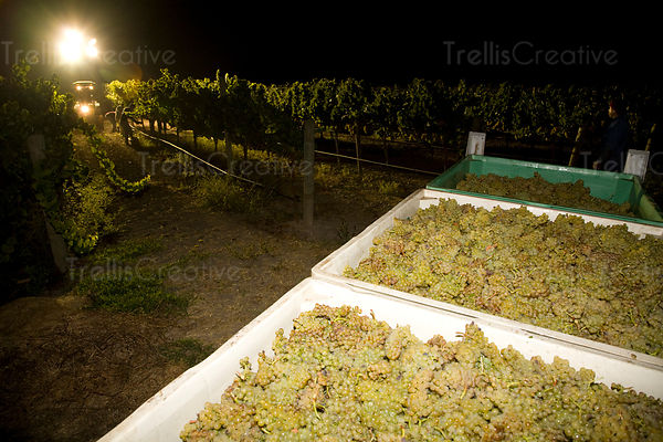 Large bins of harvested chardonnay grapes wait to be crushed