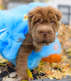 Sharpei puppy in halloween loofa costume