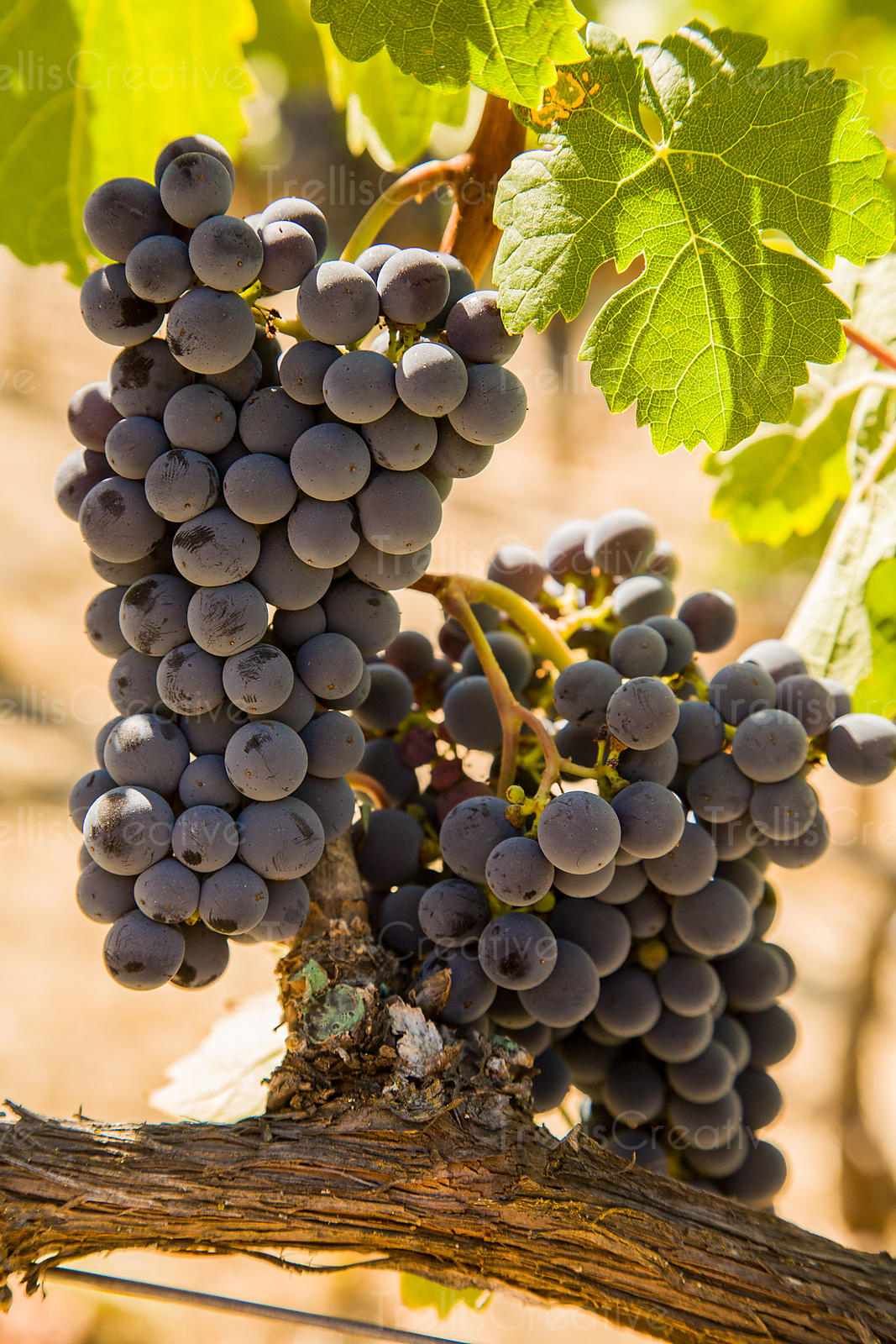 Ripe cabernet franc grape clusters on the vine