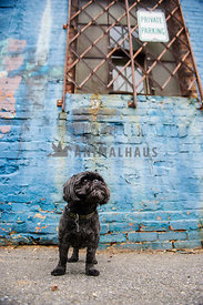 shih tzu in urban city with blue brick wall