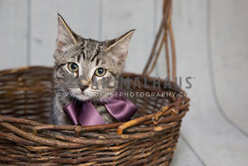 Tabby rescue kitten wearing a bow in a basket