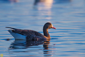 White Fronted Goose #11