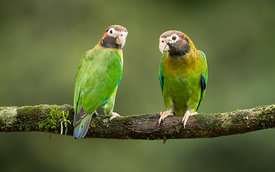 Brown Hooded Parrots, Costa Rica